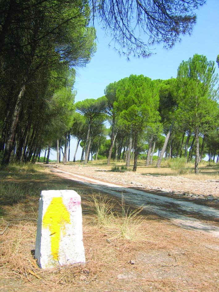 Flecha amarilla, por el pinar vallisoletano