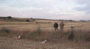 caza, codorniz, setter