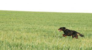 perro-setter-gordon