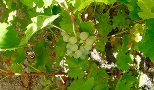 Rufete-serrano-blanco,-DOP-Sierra-de-Salamanca,-variedades