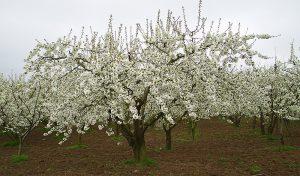 Caderechas, cerezos en flor, Sakura